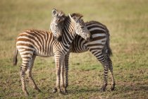 Side view of two young zebra foals, Lake Manyara, Tanzania — Stock Photo