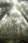 Сосни сидіти в ковдру туман і туман, нижній подання — стокове фото