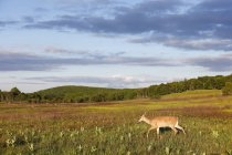 Cariacu cruzando Prado do Parque Nacional de Shenandoah — Fotografia de Stock