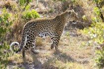Leopard im Masai-Mara-Nationalreservat, Kenia — Stockfoto
