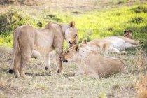 Молодими левиці відпочинку на природі в Масаї Мара, Кенія — стокове фото