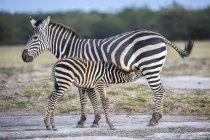 Zebra with suckling foal in Amboseli National Park, Kenya — Stock Photo