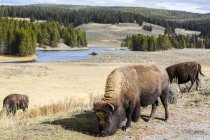 Bison grazing in meadow in Yellowstone National Park, Wyoming, USA — Stock Photo