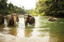 Familia de elefantes de Sumatra se bañan en un río en el norte de Sumatra, Indonesia - foto de stock