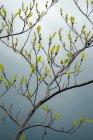 Cena de natureza com folhas pequenas, crescendo no ramo de árvore de faia na primavera — Fotografia de Stock