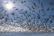 Nature photograph with large flock of flying snow geese , Skagit Valley, Washington State, USA — Stock Photo