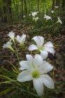 Chiuda sulla vista di gigli della pioggia, Zephyranthes atamasca, foresta di Fernbank, Atlanta, Georgia — Foto stock