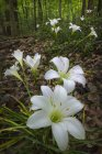 Nahaufnahme der Regen Lilien, Zephyranthes Atamasca, Fernbank Wald, Atlanta, Georgia — Stockfoto