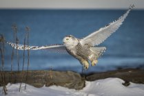 Снежная сова, пролетел над море побережье Нью-Гэмпшир — стоковое фото
