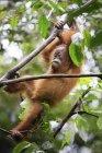 Po ' di Sumatran Orangutan arrampicata su albero nel Parco nazionale di Gunung Leuser — Foto stock