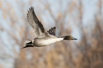 View of northern pintail duck in flight — Stock Photo