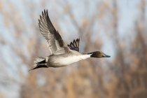 Просмотр шилохвость утка в полете — стоковое фото