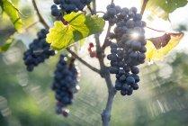 Крупним планом винограду ростуть у винограднику, Trevelin, провінції Chubut, Аргентина — стокове фото