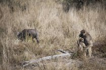 Nature photograph with baboon protecting offspring from warthog, Okavango Delta, Botswana — Stock Photo