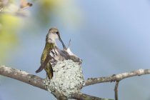 Червоногорлий колібрі (Архілох colubris) годування Чик в гніздо, Рехобот, Массачусетс, США — стокове фото