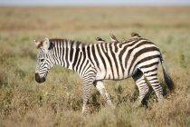 Вид сбоку Зебра с плетеной Старлинг птицы усаживаться на спине, Национальный парк Серенгети, Танзания — стоковое фото