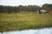 Singoli di lechwe, Kobus leche, antilope che si trova su erba, Delta dell'Okavango, Botswana — Foto stock