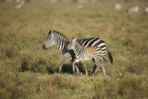 Vista laterale della zebra cammina con puledro, Parco nazionale del Serengeti, Tanzania — Foto stock