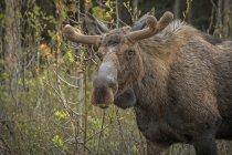 Nahaufnahme der Elch Blick in die Kamera im stehen am Waldwiese — Stockfoto
