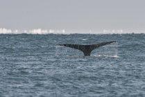 Bowhead Whale Tail in Beaufort-See, mit arktischen Eis, Utqiagviq, Alaska, Usa — Stockfoto