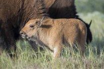 Nahaufnahme des Kälbchen Bison bei Wind River Reservation — Stockfoto
