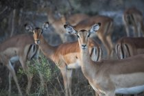 Herde Springböcke und Antilopen, Okavango Delta, Botswana — Stockfoto