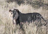 Natur-Fotografie mit einzelnen Löwen stehen in der Savanne, Kalahari-Wüste, Namibia — Stockfoto