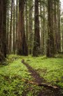 Hiking trail through Redwoods, Humboldt County, California, USA — Stock Photo