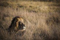 Fotografia de natureza bela do único leão deitado na savana, Delta do Okavango, Botswana — Fotografia de Stock