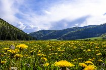 Dandelions in Hermosa Creek Valley during daytime, USA — Stock Photo