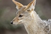 Natur-Fotografie mit Kopfschuss von Black-backed Jackal (Canis Mesomelas), auch bekannt als der Silber-backed oder rote Schakal, Serengeti Nationalpark, Tansania — Stockfoto