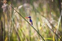 Beautiful nature photograph with malachite kingfisher, Corythornis cristatus, perching on grass, Okavango Delta, Botswana — Stock Photo
