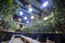 Vista interior de la marihuana medicinal el monje sus raíces crecen instalaciones, Denver, Colorado - foto de stock