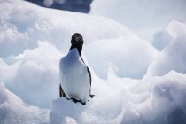 Thick Billed Murre Relaxing On Ice At Digges Island In The Canadian Arctic — Stock Photo