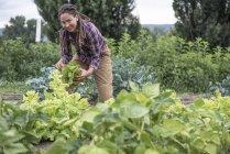 Woman Harvesting Celery At An Organic Farm In Washington State — Stock Photo