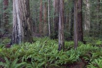 Jedediah Smith Redwoods State Park In California, Usa — Stock Photo