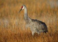 Sandhill Crane guadare attraverso le zone umide in Lake Woodruff National Wildlife Refuge — Foto stock