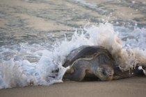 Tortuga olivácea por onda entrante en Oaxaca, México - foto de stock