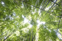 Looking up in the bamboo forest in Oheo Gulch, near Hana in Maui — Stock Photo