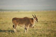 Выборочный фокус красивых диких общих Канна в естественной среде обитания — стоковое фото