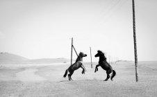 Два диких коней на степових вихованні вгору, Murun, Khuvsgul, Монголії — стокове фото
