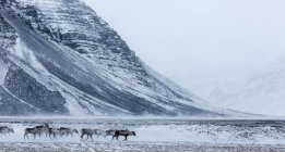 Herd Of Reindeer Making Their Way Across A Snowy Landscape — Stock Photo