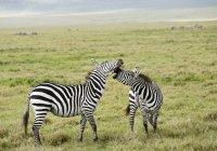 Cerrar vista de dos cebras salvajes combates en hábitat natural - foto de stock