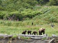 Hembra marrón con sus cachorros de oso en el Parque Nacional katmai - foto de stock