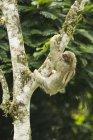 Dir-toed Sloth Cecropia Kletterbaum, Costa Rica — Stockfoto