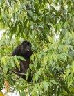 Mono aullador pidiendo un compañero en árbol - foto de stock
