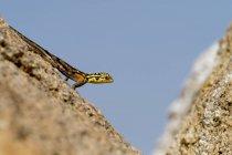 Fotografía de Namib agama rock, Agama planiceps, en región de roca, Spitzkoppe, Erongo, Namibia - foto de stock