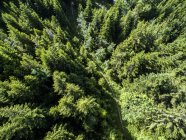 Aerial View Of A Narrow Path Meandering Through The Pine-tree Forest In Gingins — Stock Photo