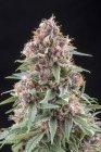 Colpo del primo piano della fioritura cannabis pianta cespuglio isolato sul nero — Foto stock