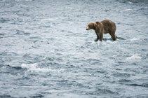 Urso pardo em um rio que flui. Do Parque Nacional Katmai, Alasca — Fotografia de Stock